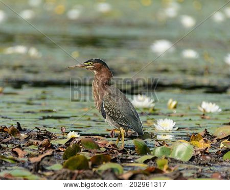A Green Heron (Butorides virescens) stands erect on a field of lily pads while hunting for food in a pond in the Mt. Sparta Wildlife Management Area in Mt. Sparta, New Jersey, USA.