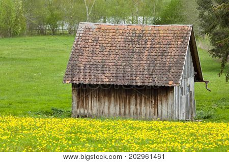 Dandelion Meadow And Shed