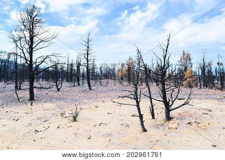 Charcoaled landscape including a burnt forest surrounded by a field of ash caused from a wildfire taken near Big Bear, CA