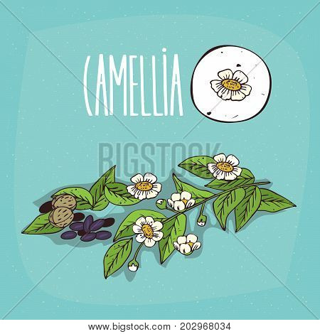 Set of isolated plant Camellia flowers herb with leaves seeds Simple round icon of Camellia oleifera on white background Lettering inscription Camellia