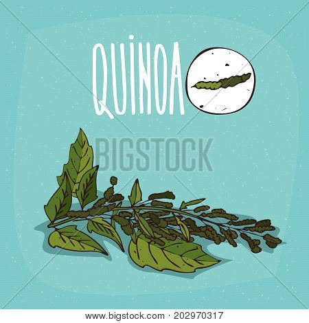 Set of isolated plant Quinoa leaves herb with seeds Simple round icon of Quinoa on white background Lettering inscription Quinoa