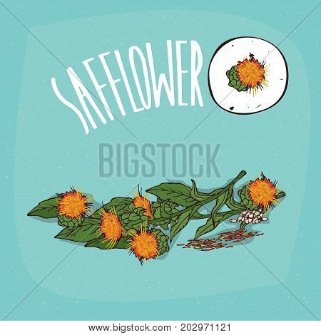Set of isolated plant Safflower flowers herb with leaves seeds Simple round icon of Carthamus tinctorius on white background Lettering inscription Safflower