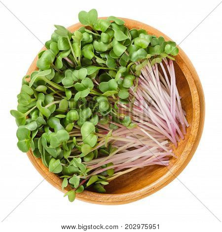 Red radish microgreens in wooden bowl. Cotyledons of Raphanus sativus, an edible root vegetable, mostly eaten raw. Young plants, seedlings and sprouts. Macro food photo close up from above over white.