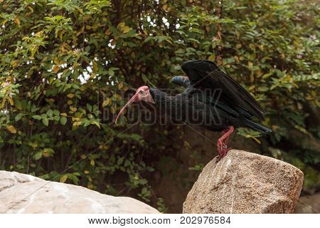 Southern Bald Ibis Known As Geronticus Calvus