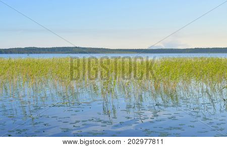 View of the lake overgrown sedge in the Karelian Isthmus Russia.