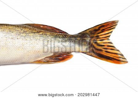 Fishtail Of Big Pike Isolated Over White