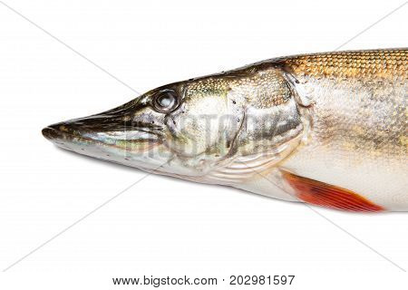 Head Of Big Pike Isolated Over White