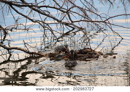 A Pair Of Red Necked Grebes Building A Floating Nest Anchored To A Tree Branch