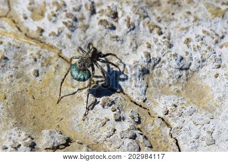Closeup Of A Wolf Spider Carrying Her Egg Sac