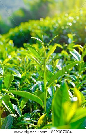 Asia culture concept image - Fresh organic tea bud & leaves plantation the famous Oolong tea area in Alishan mountain with blue sky Taiwan