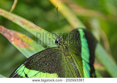 Big Green Butterfly Emerald Swallowtail Close Up, Papilio Palinurus