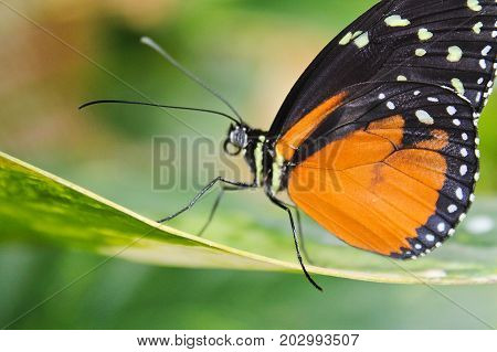 Big Orange Butterfly On Leaf, Danaus Chrysippus