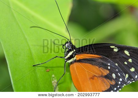 Big Orange Butterfly On Green Leaf, Danaus Chrysippus