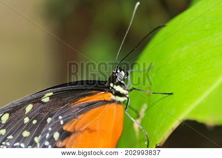 Big Orange Butterfly On Green Leaf, Danaus Chrysippus, Macro Photo