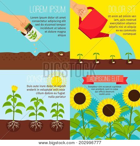 Planting process vector illustration. Planting and watering, growing sunflowers pictures with text