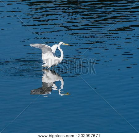 Great Egret Standing In Water With Wings Extended