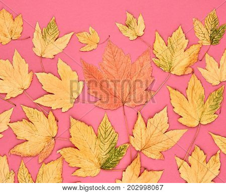 Fall Leaves Background. Autumn Fashion Design. Yellow Fall Leaves on Pink. Trendy fashion Stylish Concept. Autumn Vintage