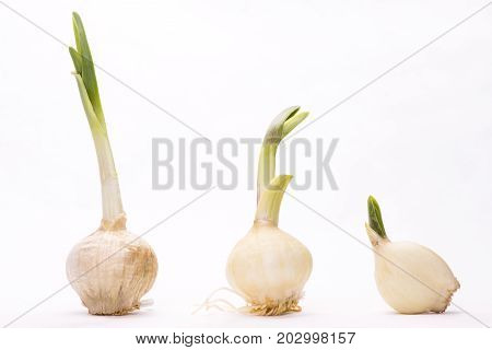 Three germinated garlics on a white background
