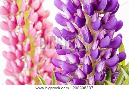 Close up purple lupin flower in front of pink flower