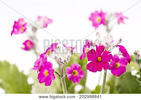 Pink primula flowers in front of white background