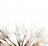 close-up of a dandelion against white background poster