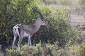 Adult male gazelle Grant who stands near a bush in the savannah poster