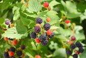 Ripe and unripe blackberries (Rubus fruticosus) on the bush. Blackberry fruits. Blackberries juicy wild fruit raw food. poster