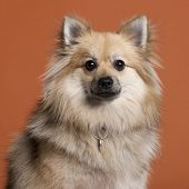 Close-up of Spitz in front of orange background poster