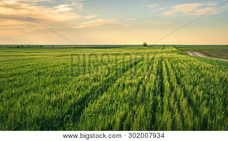 Wheat Field In Countryside. Sunset In Countryside Fields. Green Wheat Field. Ready To Harvest Wheat.