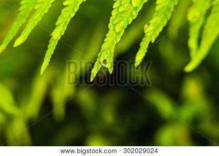 Fern Leaves With A Dew Drop On A Blurred Green Background