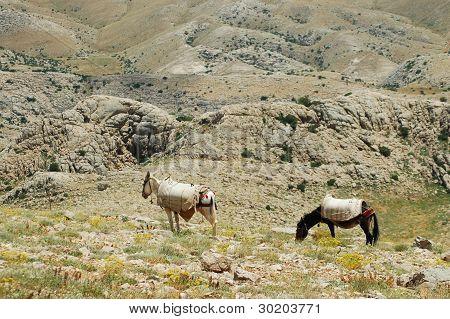 Desert landscape with horses in Northern Kurdistan, East Turkey poster