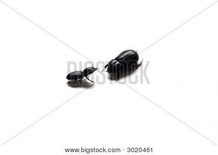 Black Beetles