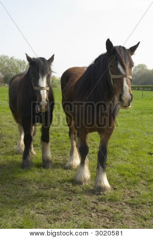 Shire_Horses50