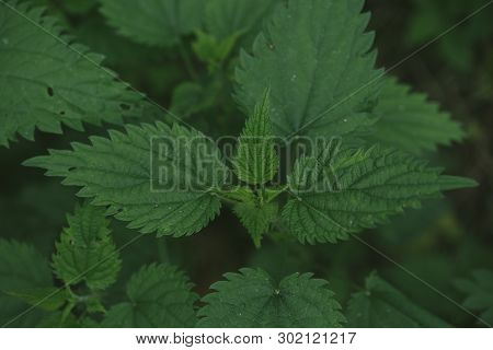 Stinging Nettle Plants Texture. Urtica Dioica, Common Nettle, Stinging Nettle, Nettle Leaf. Green Na