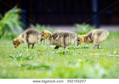 Fauna Birds Canadian Migrant Young Juvenile Canada Goose Geese