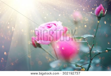 Beautiful Rose blooming in summer garden. Pink Roses flowers growing outdoors, nature, blossoming flower art design in sun light