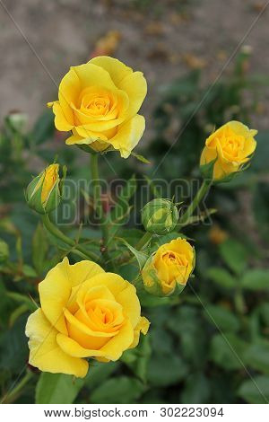 Beautiful Roses Close Up. Yellow Roses In The Garden