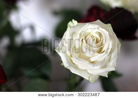 Beautiful Roses Close Up. White Rose In A Vase