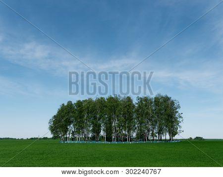 Island Of Birch Grove On A Green Field