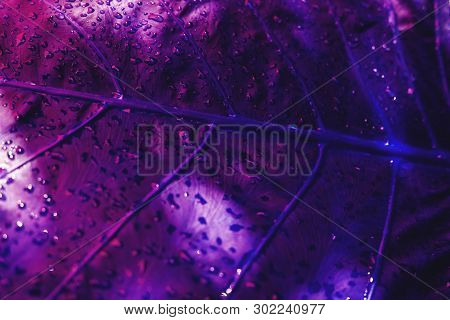 Rain Drops On Leaf Nature Background In Purple Color