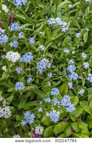 Blue Forget-me-nots, Myosotis Sylvatica, A Grass Of A Scorpion, Flower On The Spring Meadow