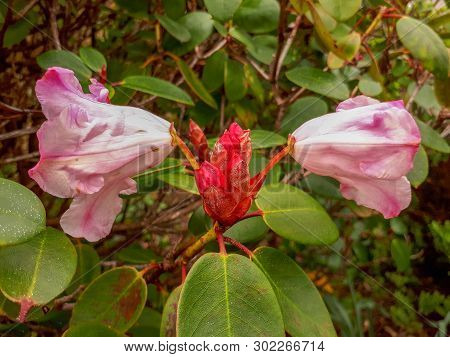 Large Pink And White Rhododendron Flowers In A Bush
