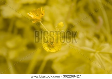 Meadow Buttercup Flower On A Yellow Background