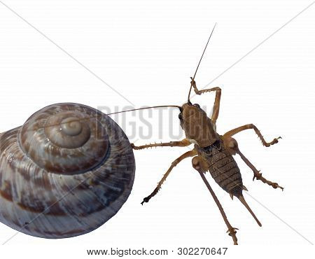 Closeup Of Wingless Brown Big Grasshopper With A Shell Isolated On The White Background In Its Natur