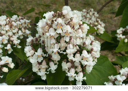 Flowers On Branch Of Catalpa Tree In June