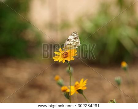 A Beautiful Cream Butterfly With Brown Markings Landson A Yellow  Flower In A Water-wise Garden.