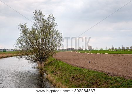 Curved Stream In A Dutch Polder Landscape. A Large Willow Bush Is Just Budding. In The Background A