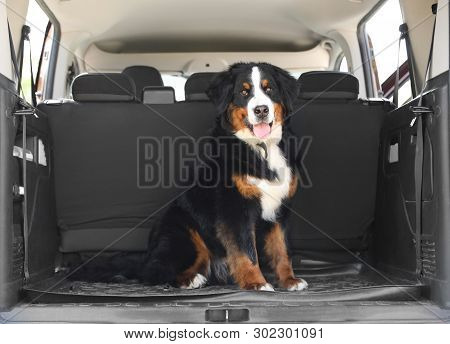 Bernese Mountain Dog In Car Trunk, Space For Text