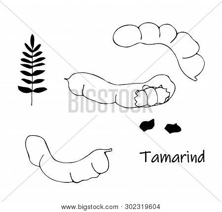Vector Doodle Of Black Tamarind, Kranzhi, Tamarind Plum - Asian Beans. Sketch Spice.