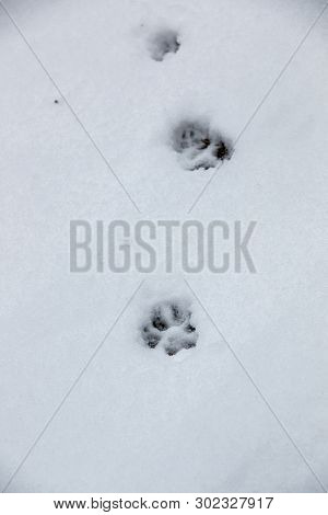 Foot Print Of A Dog Or A Wolf On The White Snow